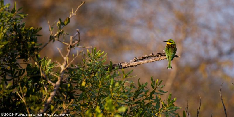 Colorful bird, Kruger National Park