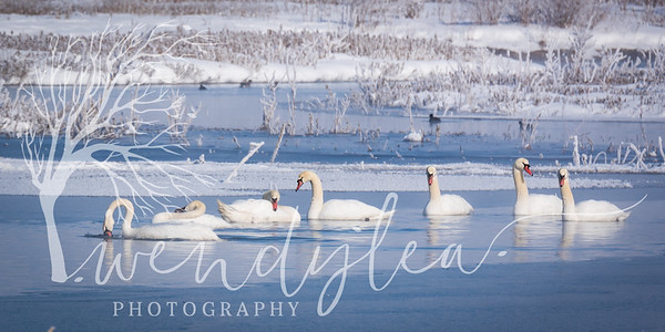 wlc swans and slc temple75February 06, 2016