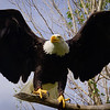 Diva Bald Eagle From Hawkquest