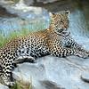 Leopard.  Talek River, Masai Mara Reserve, Kenya.