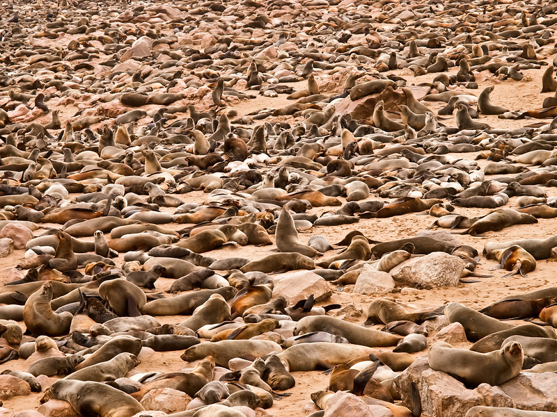 Tons of Seals - Cape Cross, Namibia