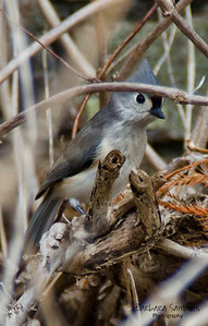 Titmouse - at the North Carolina Arboretum