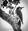 BW Woodpecker_DSC4837