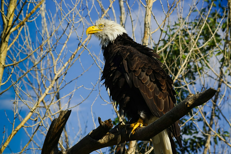 This eagle was so relaxed that she ruffled her feathers