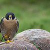 Napoleon Peregrine Falcon - He means business.  - Hawkquest 2013