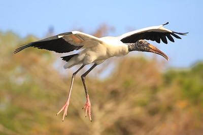 Wood Stork