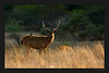 Backlit Sambhar Deer in golden evening light towards end of Day 1. This too was taken in Zone 3 - the magical zone with the lakes. In 2008 this was one heck of a zone with incredible sightings and photographic opportunities due to Machli and her 3 cubs. Unfortunately with one of the cubs having been shifted to Sariska and Machli not being in her prime any more, this year the zone is not quite like what it used to be. Hopefully sometime in the future, Machli's daughter will take over as the new queen of the lakes and start her own litter.
