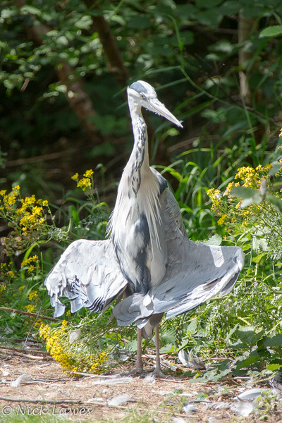 Crane sunbathing or posing?