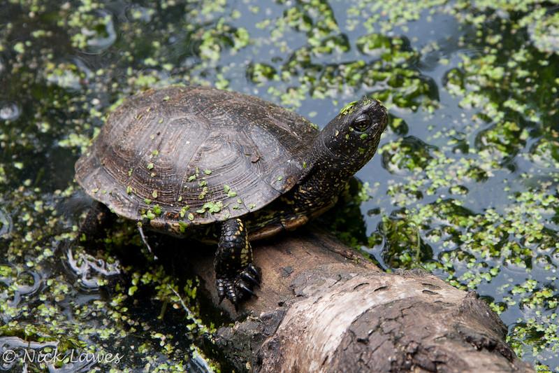 Pond Tortoise