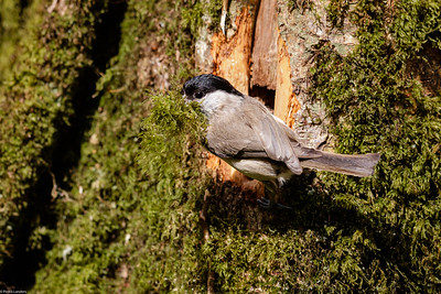 Willow Tit with Nest Building Material