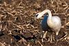 Male trumpeter swan.