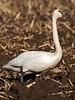 Somewhat agitated male trumpeter swan.
