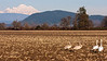 A trumpeter swan family in the fields of Mt. Vernon, Mt. Baker looming in the background.