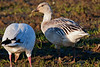 Snow goose with a different plumage.