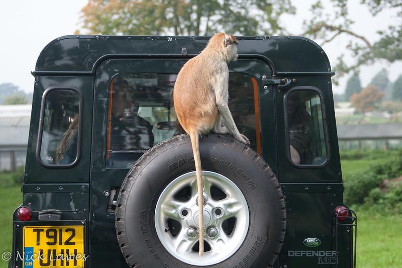 Tyred Patas Monkey