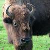 North American Bison