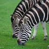 Chapman Zebra