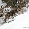 Wolf 889F, 755 Group YNP, 2/23/14