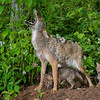 Coyote family at the den