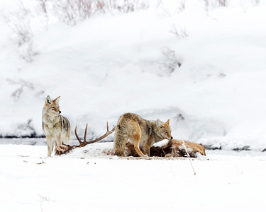 Coyotes on a leftover Wolf kill of an Elk, Yellowstone NP.