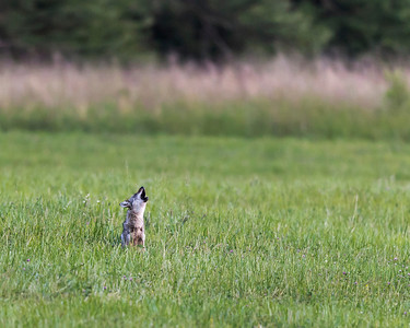 Lone Coyote in the meadow at Cades Cove,  We heard this coyote howling at dusk.