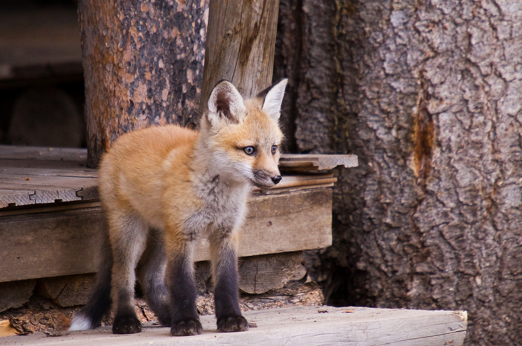 A red fox kit