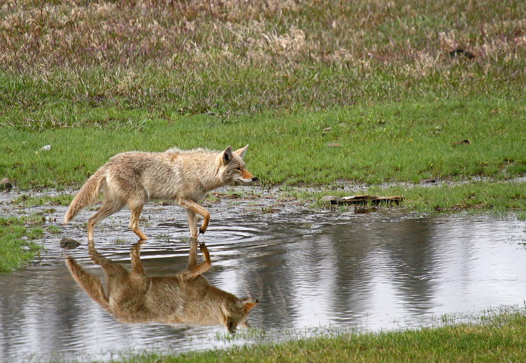 A coyote is reflected in a flooded valley while he hunts