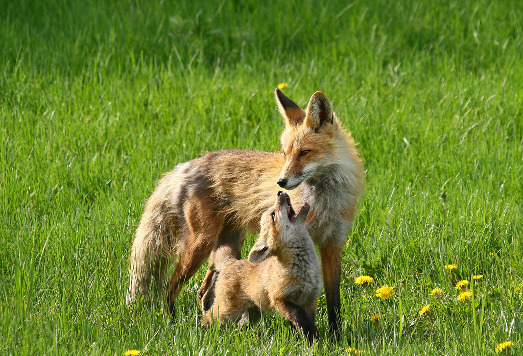 A fox kit begs for food from his parent
