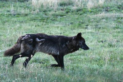Member of the druid wolf pack