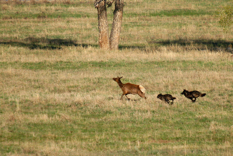 Two members of the Druid wolf pack chase a cow elk