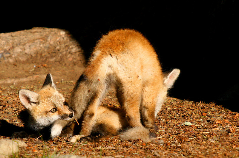 Red fox kits constantly play with each other while they are out of the den.  It seems random, but it helps them prepare to hunt when they are out on their own