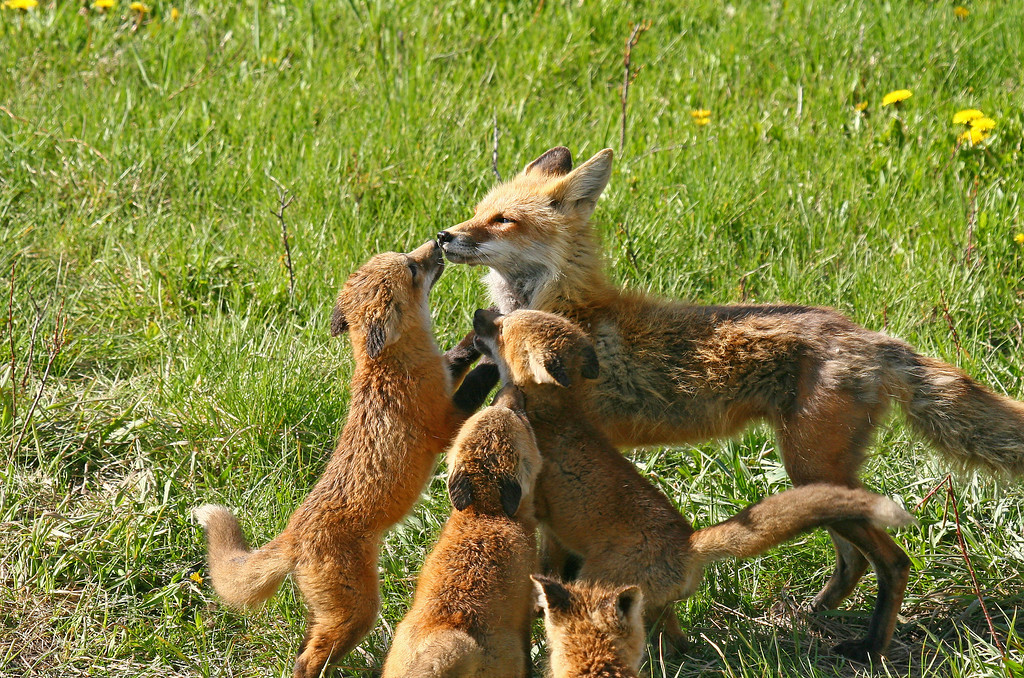 Female fox arrives and the begging begins