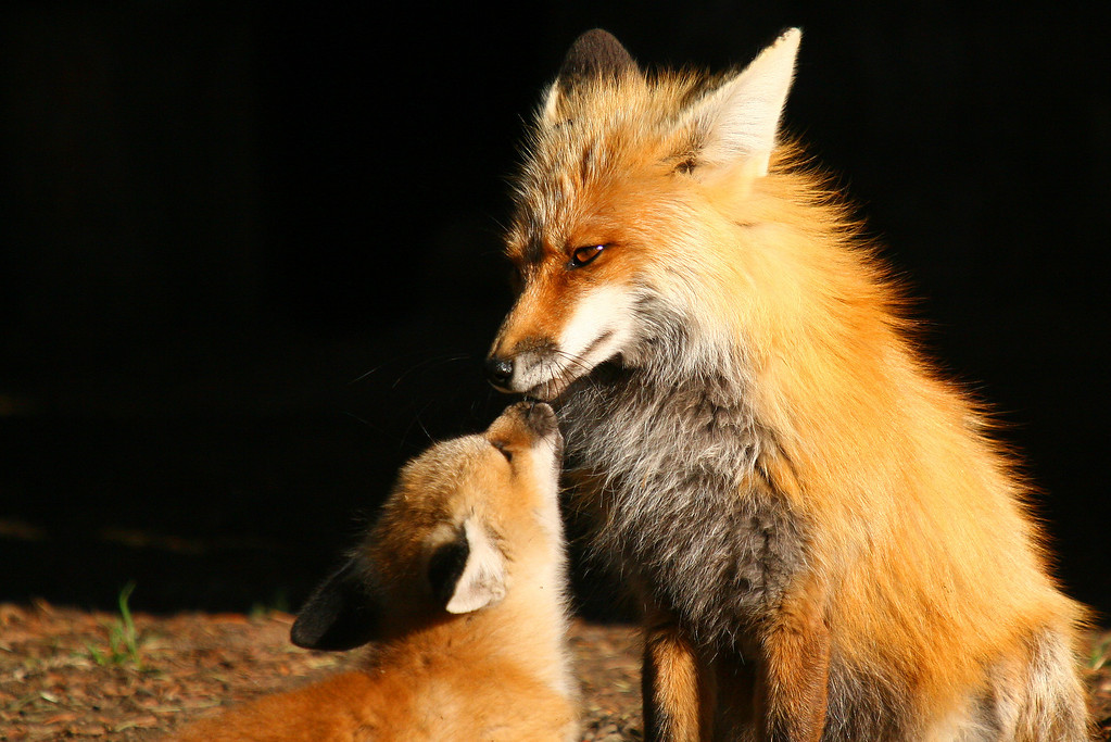 Fox kits often beg for food by sticking their nose to their parents