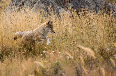 A coyote searches for dinner