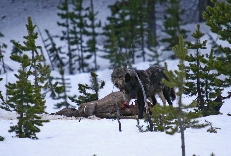 Two members of the Canyon wolf pack feed on an elk carcass they had killed the previous day