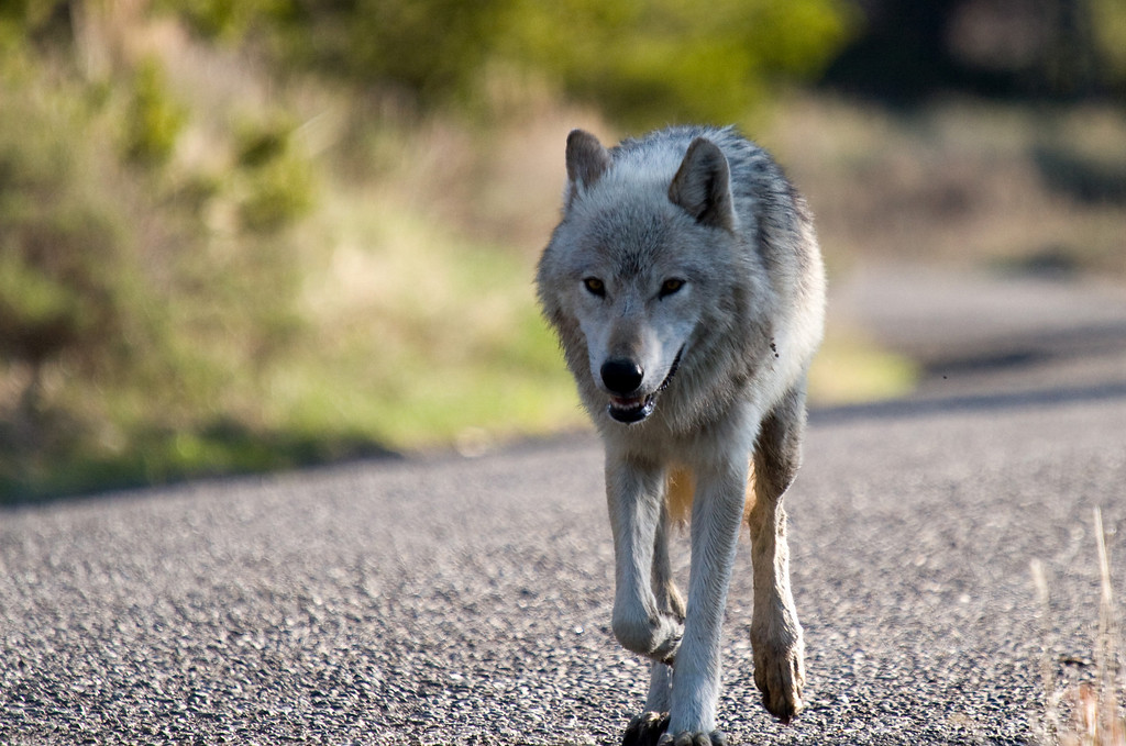 This is the alpha female of the Canyon wolf pack.  She was making the long journey from the northwest corner of the park, where she previously had a den, to her home range in the central area.  Unknown at the time, she actually did have one pup at the location.