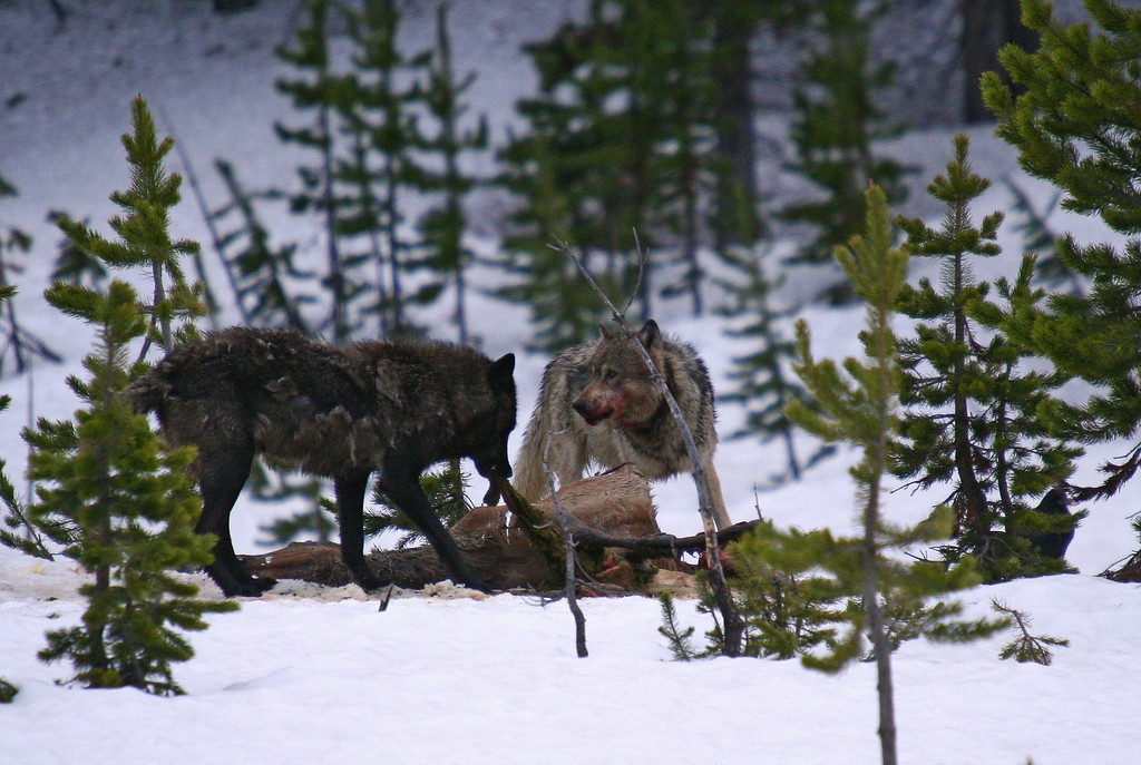 Members of the Canyon wolf pack feeds on an elk kill from the previous morning