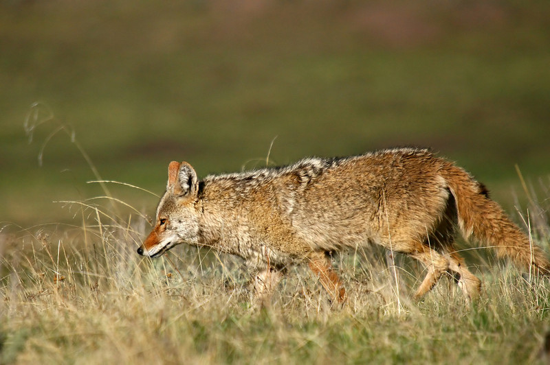 A coyote searches for ground squirrels across the prairie