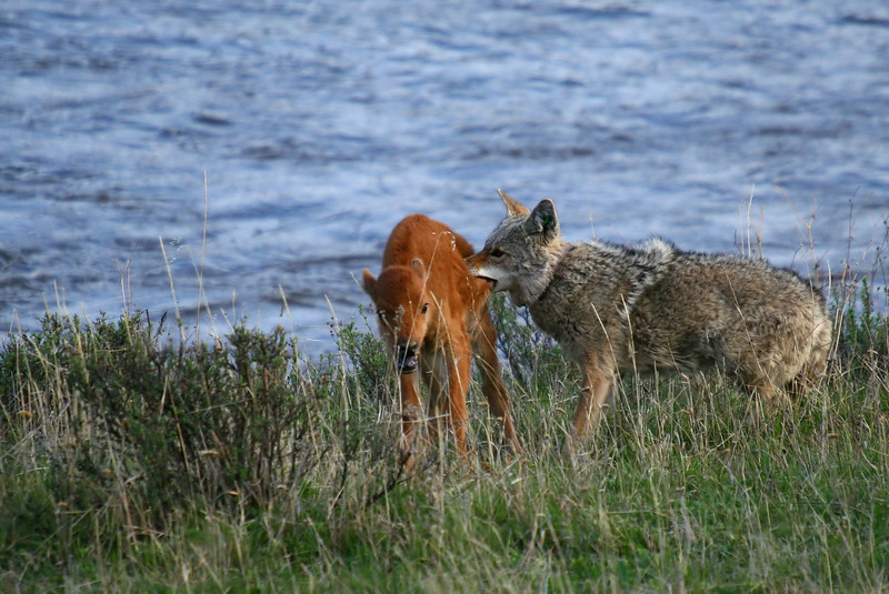 The coyote may have bitten off more than it could chew