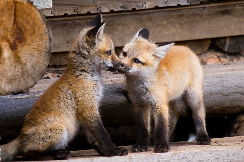 Two fox kits play