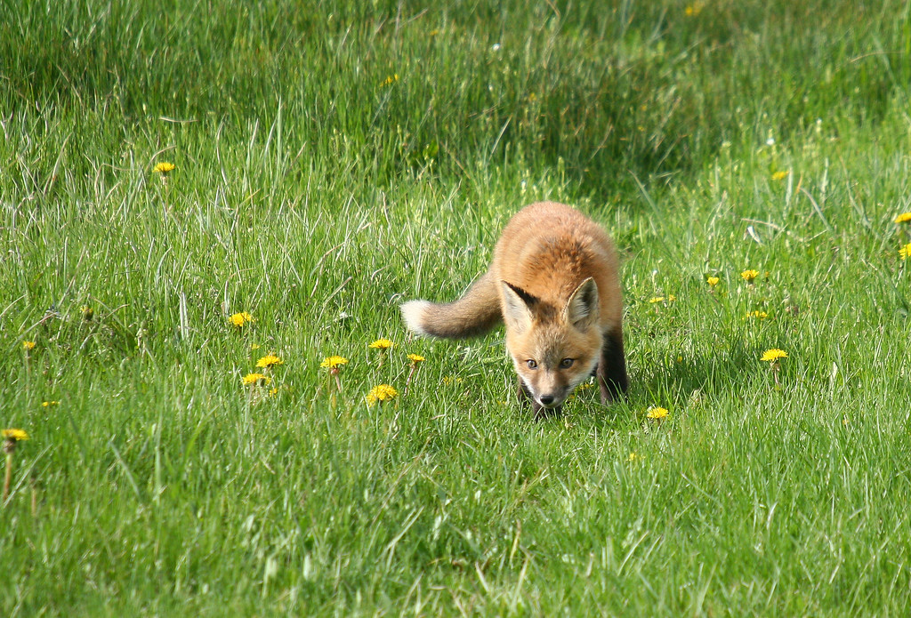 A red fox kit sniffs around the meadow