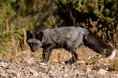 Very handsome silver fox, focussed in it's own curiosity, along a dry riverbank.