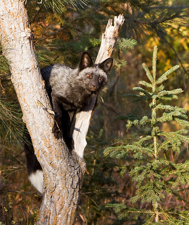 Silver fox climbs a tree for a better view to help satisfy it's curiosity!