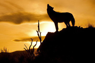 Wolf communication at sunset - Howling good time!!