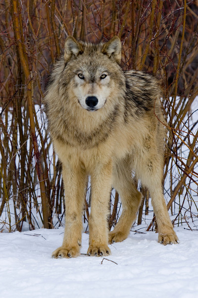 Timber wolf watching & posing for the camera - Montana