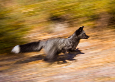 This silver fox took off with SPEED!!!