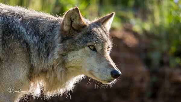 Kekoa, Timber Wolf