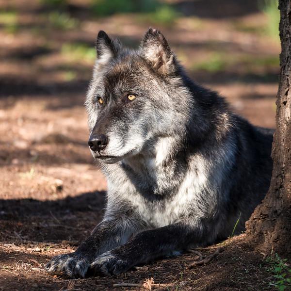 Keyni, Tundra Wolf