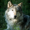 Kekoa, Timber Wolf