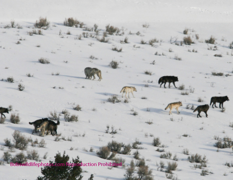 The day this photo was taken we say 18 wolves 13 of which are captured here as they move over the moutain.